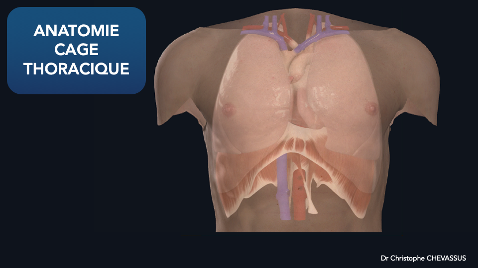 Les poumons en 3D